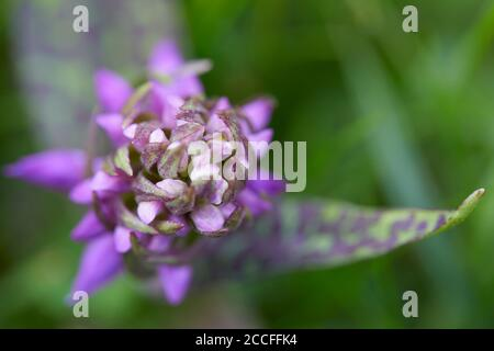 Broad-leaved orchid, Dactylorhiza majalis, plant with buds, closed, young - Stock Photo