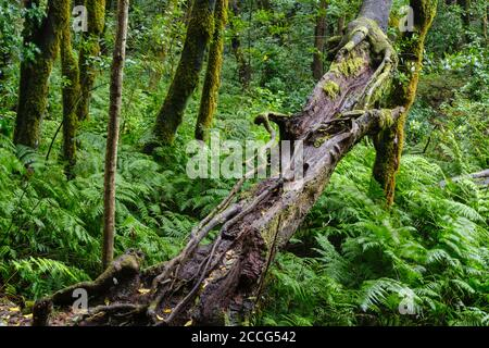 old tree trunk and fern in cloud forest at El Cedro, Garajonay National Park, La Gomera, Canary Islands, Spain - Stock Photo