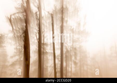 Blurred pine trees in the fog at the Herzogstand. One of Munich's local mountains in the Ester Mountains, the Bavarian Prealps.