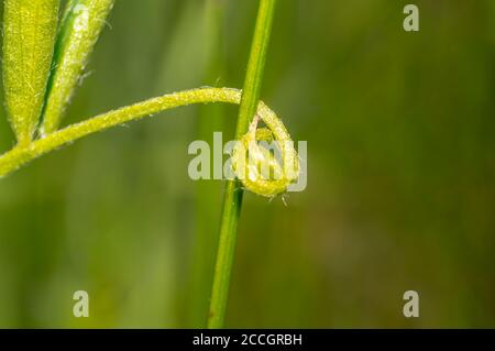 green sycamore tendril in summer season