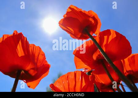Low-angle shot of shiny red oriental poppies (Papaver orientale) against blue sky