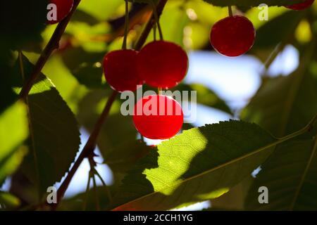 Ripe sour cherries (Prunus cerasus) nicely illuminated by sunshine in Norwegian summer - Stock Photo