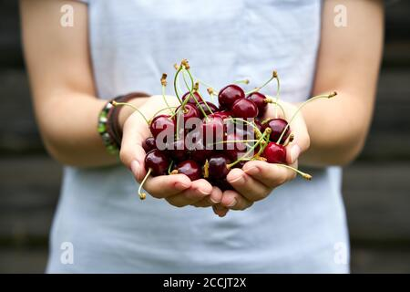 The girl holds ripe cherries in her palms.  Close up shoot. - Stock Photo