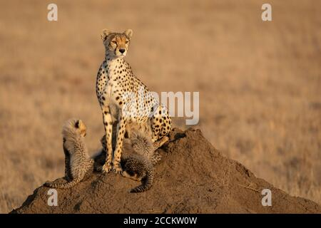 Cheetah female and her baby cubs sitting on a termite mound in Serengeti Tanzania Stock Photo