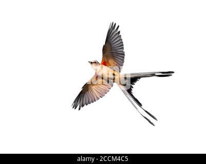 Scissor-tailed flycatcher (Tyrannus forficatus) flying, isolated on white background. - Stock Photo