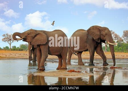 Elephants standing back to back at a waterhole with a bird flying overhead in Chobe National Park Botswana