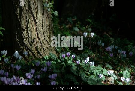 Cyclamen hederifolium at the foot of a Robinia pseudo-acacia tree with textured bark.This the ivy-leaved cyclamen or sowbread, is a species of floweri - Stock Photo