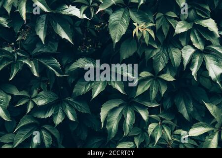 Creative layout made of green leaves of Vitaceae or grapevines. Flat lay. Nature background. - Stock Photo