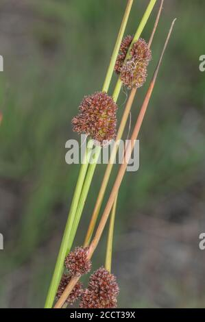 Compact rush, Juncus conglomeratus, in flower in wet meadow. - Stock Photo
