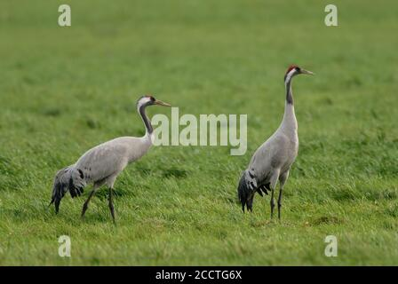 Cranes ( Grus grus ), Common Cranes, two adult, resting, feeding on grassland, green farmland while bird migration in fall, wildlife, Europe. - Stock Photo