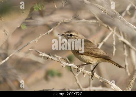 Plain-leaf Warbler (Phylloscopus neglectus) Oman, adult peched in a bush - Stock Photo