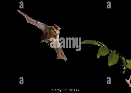 Kuhls Pipistrelle (Pipistrellus kuhlii) in flight in woodland.