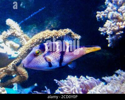 Spider's Eye Puffer - Canthigaster valentini a saltwater fish with a distinctive pattern.