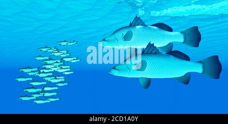 Barramundi after Anchovy Fish - A school of Anchovy fish try to get away from two predatory Barramundi sea bass in the open ocean. - Stock Photo