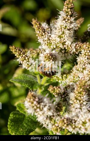 Garden mint allowed to flower to support garden wildlife, small scale conservation