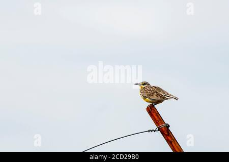 South Dakota. Badlands National Park.  Western Meadowlark, Sturnella neglecta sitting on a fencepost. - Stock Photo