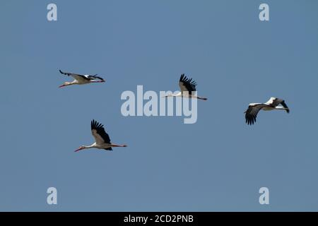 A flock of White stork (Ciconia ciconia) in flight on migration Photographed in Israel - Stock Photo