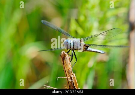 Colorful Dragonfly resting on a twig with blurred green nature background