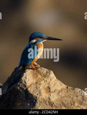 A beautiful Common Kingfisher (Alcedo atthis), perched on a rock at Mangalore in Karnataka, India.