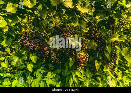 Vineyards at late summer. Ripe red grapes in Austria - Stock Photo