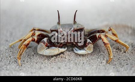 black ghost crab on the beach, two big eyes to see the danger, two claws for defense, a strong carapace for protection