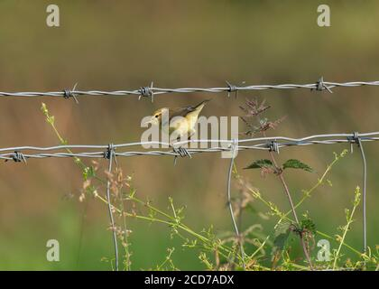 Warbler willow (Phylloscopus trochilus), perched on a filed boundary fence, Dumfries, SW Scotland - Stock Photo