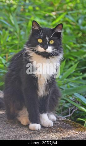 wild black and white cat in a garden, Issoire, France - Stock Photo