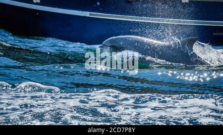 Close up of wild Fungie Dolphin, Tursiops Truncatus, swimming and splashing water near boat. Spotted near Dingle bay, County Kerry, Ireland - Stock Photo