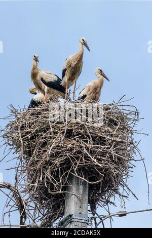 European white stork breeding babies before migration in their nest - Stock Photo