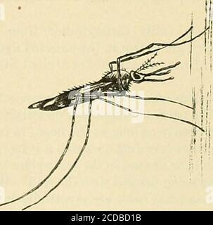 . The practice of medicine; a text-book for practitioners and students, with special reference to diagnosis and treatment . Fig. 8.—Anopheles piinctipennis—female,with male antenna at left, and wing-topshowing venation at left, enlarged. Fig. 9.—Culex taniorhynchus—female,showing the short palpi which distinguishculex from anopheles; toothed front tarsalclaw at right, enlarged.. Fig. 10.—Resting position of anopheles,enlarged. Stock Photo