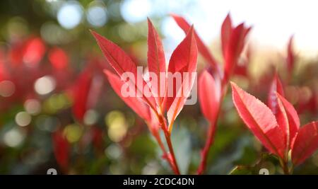 Beautiful closeup of stunning delicate elegant red new growth photinia tree leaves with backlit sunlight streaming through the leafy foreground.