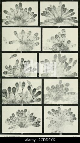 . The rusts of Australia, their structure, nature, and classification . 0. II. Robinson, Phot PUCCINIA. RUTACEAE, TREMANDREAE, and VIOLACEAE 268 Explanation of Plates. PLATE XIV. {All Figures X ^50.) PUCCIXIA GRAMINIS on VARIOUS GRASSES.Fig. 113. Teleutospores and mesospores on wild oat, Avena fatua. 114. Teleutospores on barley, Hordeum vulgare. 115. 116. Teleutospores, mesospores, and uredospore, one of the first three-celled, on native barley, Echinofogon ovatus. 117. Teleutospores on cocksfoot, Dactylis glomcrata. 118. Teleutospores and uredospores on silver grass, Fesiuca bromoides. 1 hi. - Stock Photo