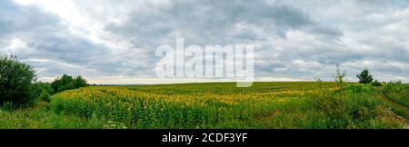 Sunflower field in the afternoon. Panorama of beautiful nature landscape. Farm field idyllic scene - Stock Photo
