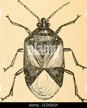 . First[-ninth] annual report on the noxious, beneficial and other insects, of the state of Missouri, made to the State board of agriculture, pursuant to an appropriation for this purpose from the Legislature of the state . Sykphus Fly.. 62 SIXTH ANNUAL REPORT Stock Photo