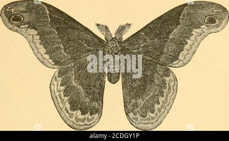 . First[-ninth] annual report on the noxious, beneficial and other insects, of the state of Missouri, made to the State board of agriculture, pursuant to an appropriation for this purpose from the Legislature of the state . ,,or limestone soil. [Fig. 45.]. PROMETHEA MOTH, MALE. [Fig. 46.] Stock Photo