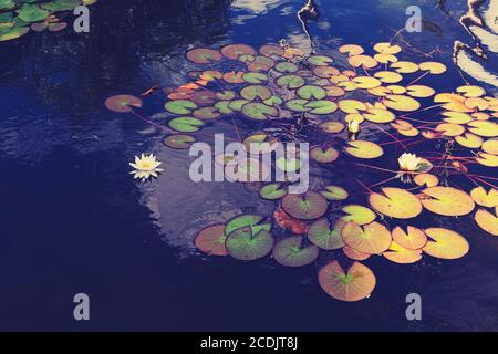White lotus flower or water lily. Lotus leaves and lotus bud in a pond. Lotus season in Zaryadye park, Moscow