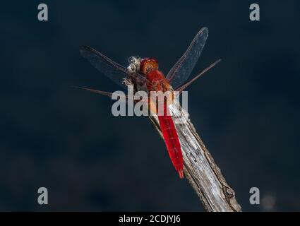 Male Broad scarlet, Crocothemis erythraea, perched over lake. France. - Stock Photo