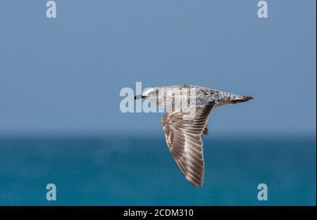 Armenian gull (Larus armenicus), immature flying along the coast, side view, Israel - Stock Photo