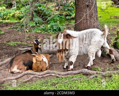 Bearded Boer goat 'Capra aegagrus hircus' (mixed breed) communicating  with two females. - Stock Photo
