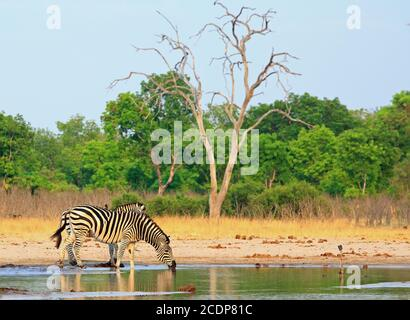 Burchell's Zebra taking a drink from a waterhole with a natural bushveld background and a pale blue sky, Hwange National Park, Zimbabwe - Stock Photo