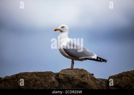 Adult Herring Gull Larus argentatus in profile perching on a limestone wall on a coastal path in Llandudno, North Wales - Stock Photo