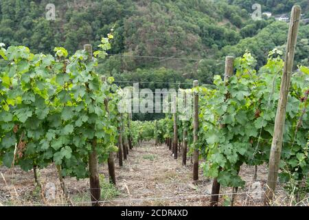 Green unripe grapes on a vine with leaves in a vinyard Vitis vinifera - Stock Photo