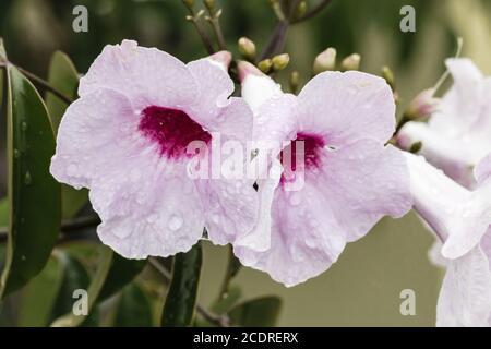 Bower Vine, Bower of Beauty, Pandorea jasminoides, Australia Stock Photo