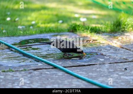 Common blackbird, Turdus merula, drinking water from a hose, Lancashire, England, Great Britain - Stock Photo
