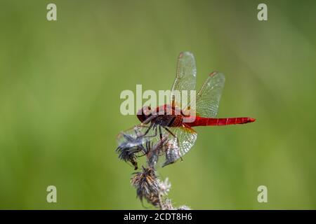 Resting Scarlet Darter contrasting an uniform green background - Stock Photo