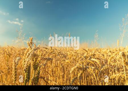 Agricultural fragmental panorama of the wheat field. Ripe wheat and wild flowers close-up. Shallow depth of field. Toned. - Stock Photo