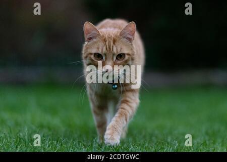 ginger tabby cat walking towards the camera