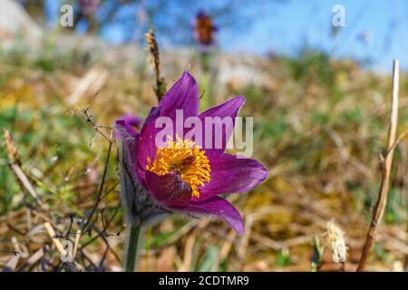 Close up at a Pasque flower on a meadow in springtime