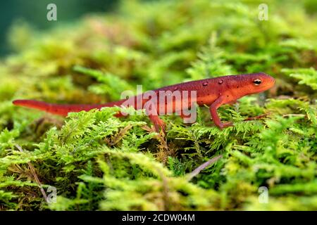 Red Eft of Eastern Newt (Notophthalmus viridescens) - DuPont State Recreational Forest near Hendersonville, North Carolina, USA