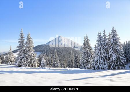 Landscape winter forest in cold sunny day. The fluffy pine trees covered with white snow. Wallpaper snowy background. Location place Carpathian, Ukrai